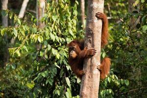 lindo orangután cuelga del árbol. foto