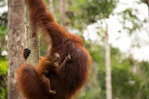 hermoso bebé y madre orangután. foto