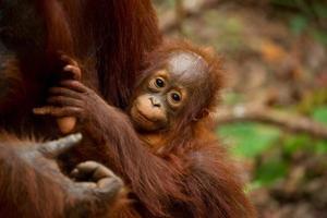 linda cara de bebé orangután. foto