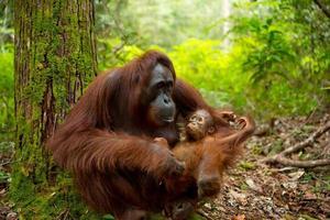 encantador orangután. foto