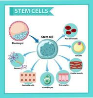 Information poster on human stem cell. Educational content.