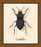 Carabidae in wooden frame