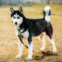 joven feliz cachorro husky perro esquimal foto