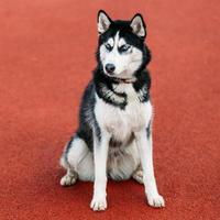 Joven cachorro de perro husky sentado en el suelo rojo al aire libre foto