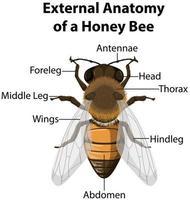 anatomía externa de una abeja melífera vector