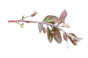 Eucalyptus branch on white background