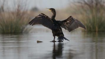 Cormorant dries its wings on the trunk