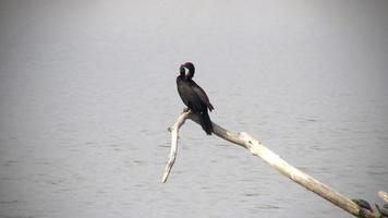 cormoranes neotropicales