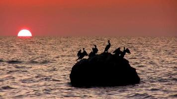 cormorões ao pôr do sol video