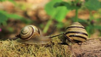 Meeting of two snails. Close up. Time lapse video