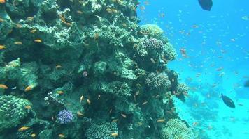 peces de colores en el arrecife dahab