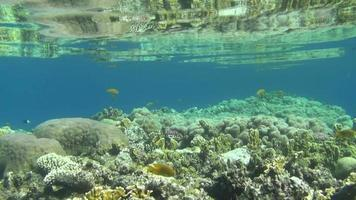 peixes coloridos em reef dahab