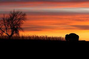 Silhouette of bison and tree at sunset. photo