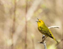American Yellow Warbler photo