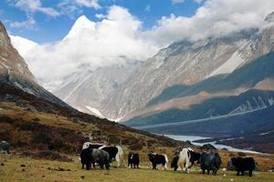 Yaks in Langtang valley with Langshisha Ri mout - Nepal photo