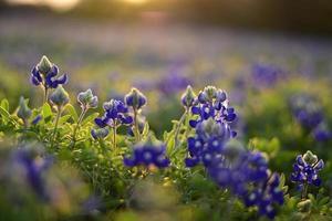 bluebonnets de texas
