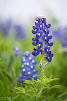 Texas Bluebonnet (Lupinus texensis) photo