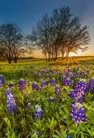 Bluebonnet or Lupine wildflowers filed at sunset