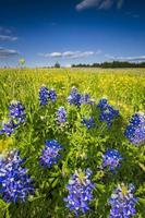 Wilflower Field in Palmer, TX