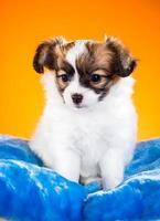 Portrait of a puppy Papillon on an orange background