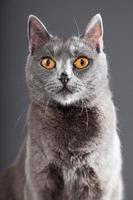 Grey Chartreux cat with yellow orange eyes.