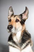 Cute old german shepherd dog. Studio shot against grey background.