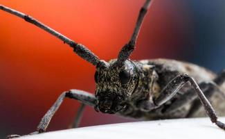 Longhorn Beetle with Red Background photo