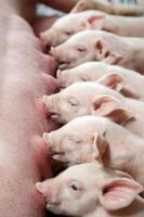 Newborn piglets suckling.