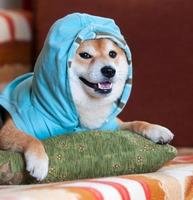 Happy Shiba inu dog with blue jacket on pillow photo