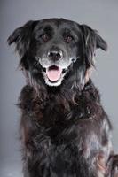 Old flatcoated retriever dog isolated on grey background. Studio shot. photo