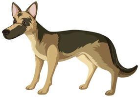 Perro pastor alemán en pose de pie aislado