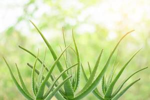 Aloe vera plants on bright nature background