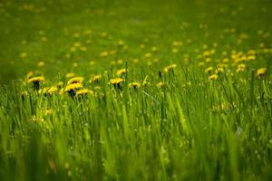 Yellow flowers in field blooming