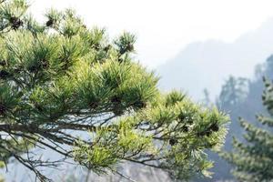agujas verdes de un pino