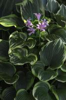 Purple delicate flowers on hosta photo
