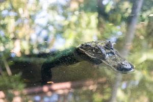 Alligator floating in a pond