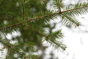Green needles of a pine tree