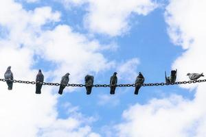 Pigeons perched on a steel chain