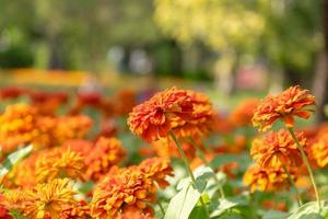 Beautiful zinnia flowers in a garden