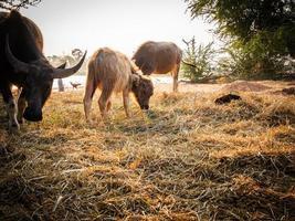 manada de búfalos de tailandia