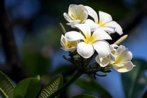 flor de plumeria blanca foto