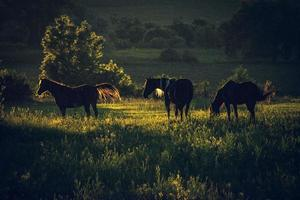 Beautiful brown horses on grassland
