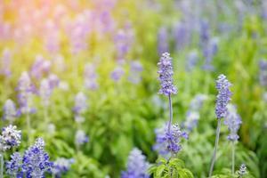hermoso campo de lavanda púrpura foto