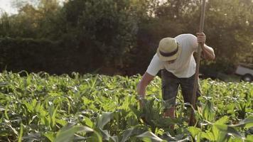 Weed control on organic farm video