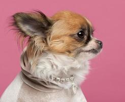 Close-up of Chihuahua, with diamond collar, pink background.