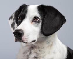 Mixed breed black and white spotted dog isolated against grey. photo