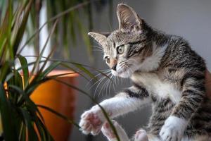 Small grey pet kitten playing indoor