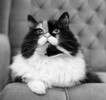 hermoso gato esponjoso, blanco y negro foto