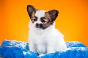 Cute Papillon puppy on a orange background