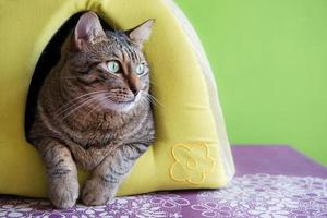 Cute cat in a green in an igloo cat house cat at home photo